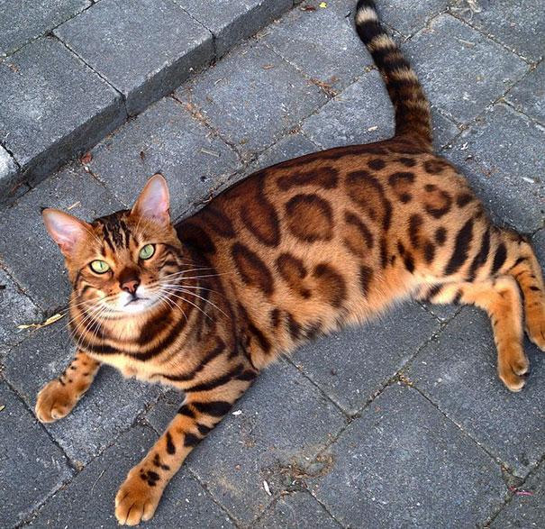 bengal-cat-spots-fur-thor-15