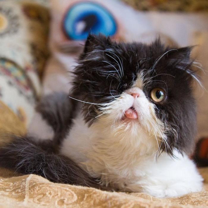 Meet Spaghettio, A Pirate Cat Who Lost Her Eye But Not Her Confidence