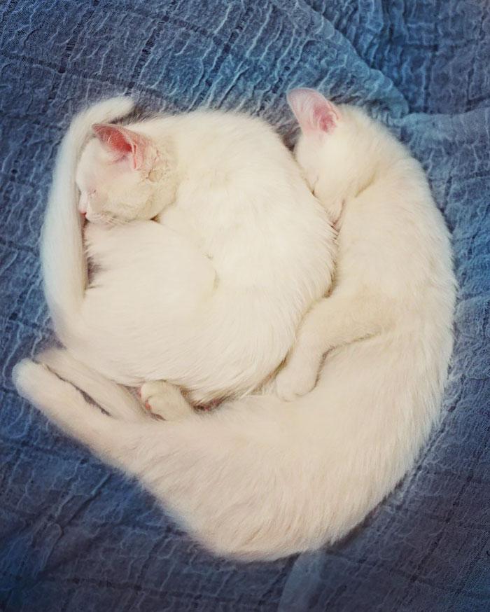 cat-gemelas-hermanas-iriss-abyss-heterocromatínicas-ojos-20