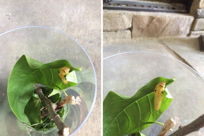 caterpillar-caterpie-evolution-pokemon-go-saga-chicken-nugget-6
