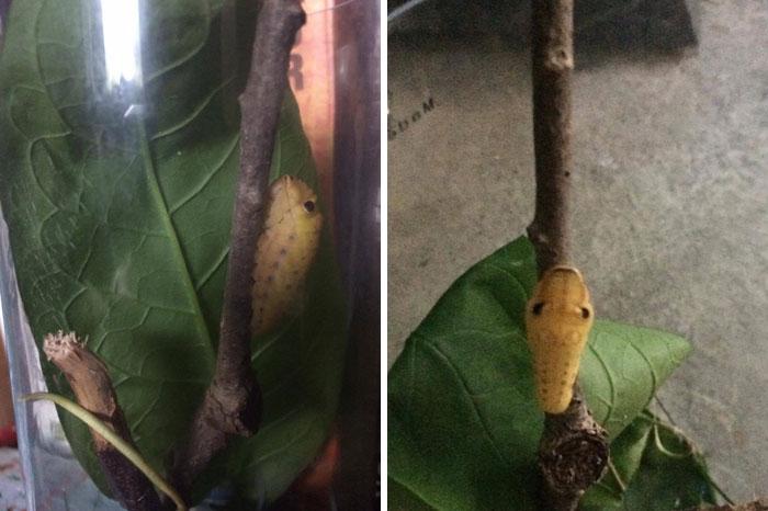 caterpillar-caterpie-evolution-pokemon-go-saga-chicken-nugget-7