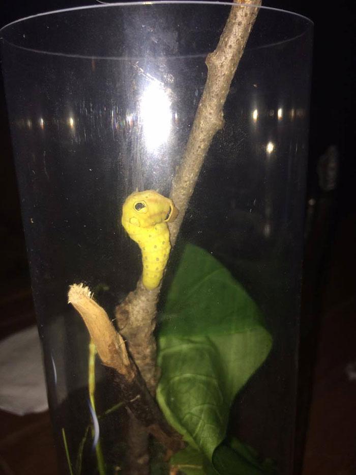 caterpillar-caterpie-evolution-pokemon-go-saga-chicken-nugget-9