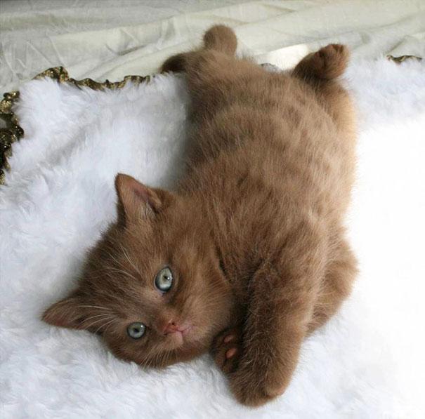 Cinnamon Kitten