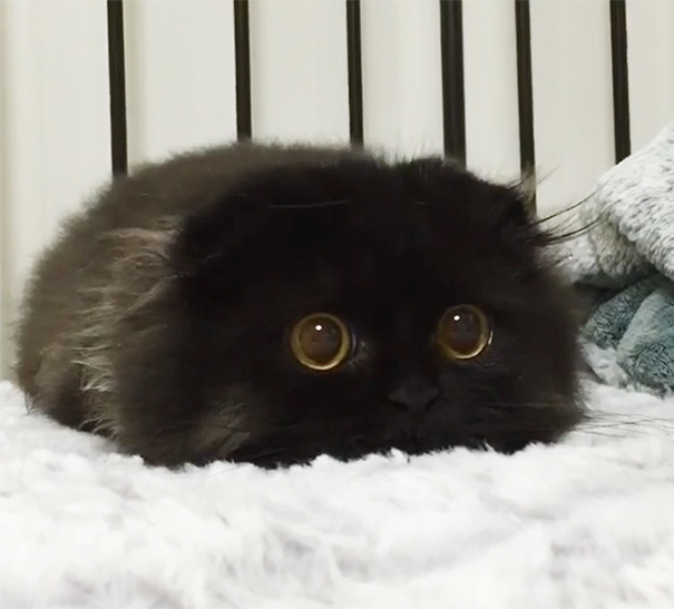 Gimo, The Cat With The Biggest Eyes Ever