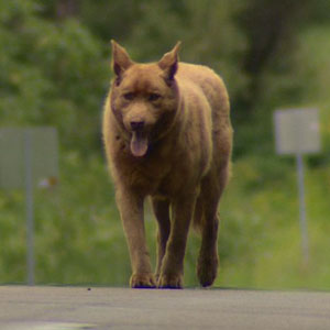 Every Day This Old Dog Walks 4 Miles To Town Just To Say Hi To Everyone