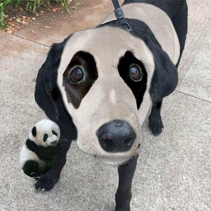 Pandadog