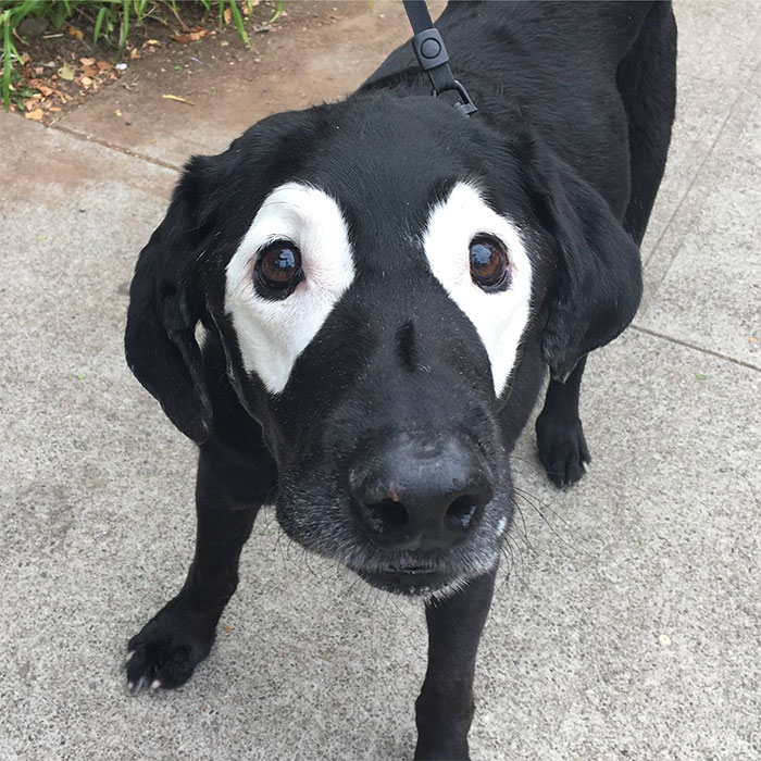 This Black Lab Is Slowly Turning White, So Internet ...