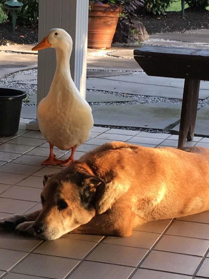 duck-saves-dog-depression-george-10