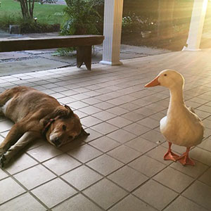 After This Dog's Best Friend Died, He Was Depressed For 2 Years But Then This Duck Showed Up