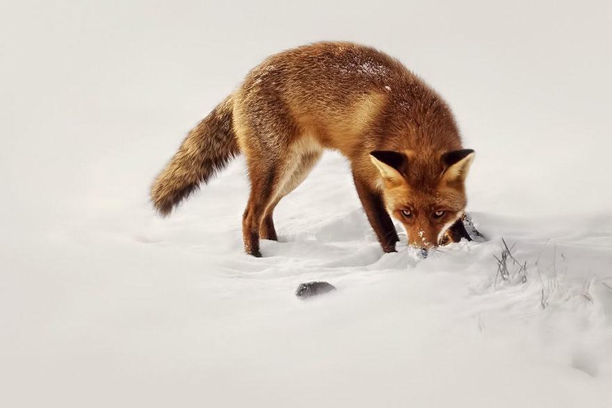 fox-photography-joke-hulst-1