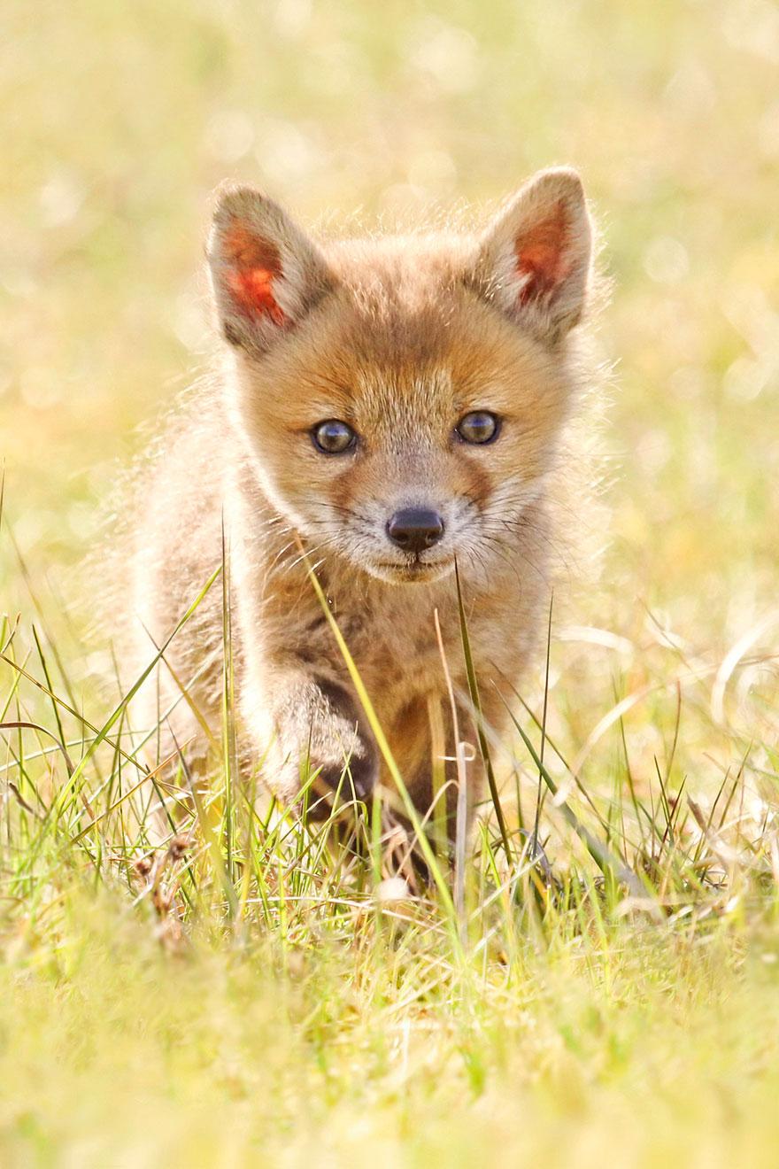 fox-photography-joke-hulst-8