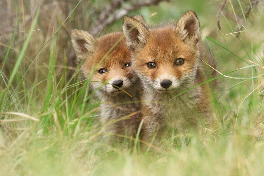 fox-photography-joke-hulst-9