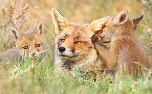 Photographer Reveals Rarely Seen Side Of Wild Foxes