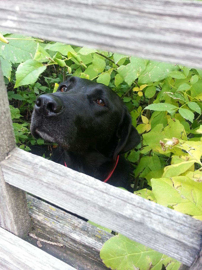 My Dad Gave The Neighbour's Dog Daisy A Bit Of Bbq Over The Fence Once. Now She Lurks In The Bushes Every Time We Come By