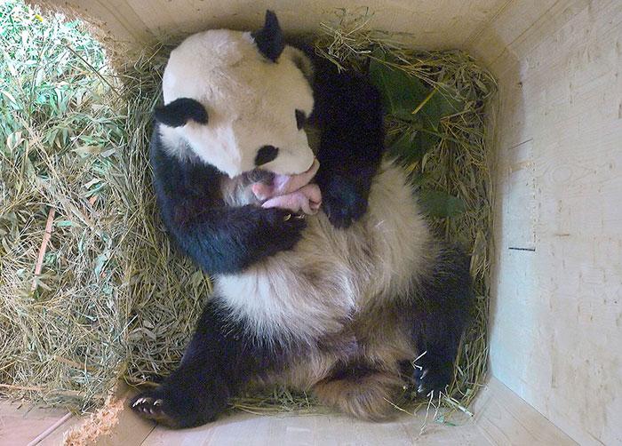 giant-panda-twins-birth-yang-yang-schonbrunn-zoo-3