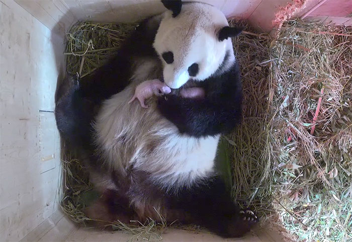 giant-panda-twins-birth-yang-yang-schonbrunn-zoo-7