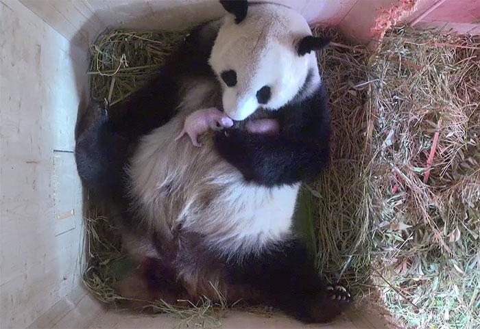giant-panda-twins-birth-yang-yang-schonbrunn-zoo-7