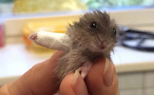This Tiny Hamster With Broken Arm Will Make You Go