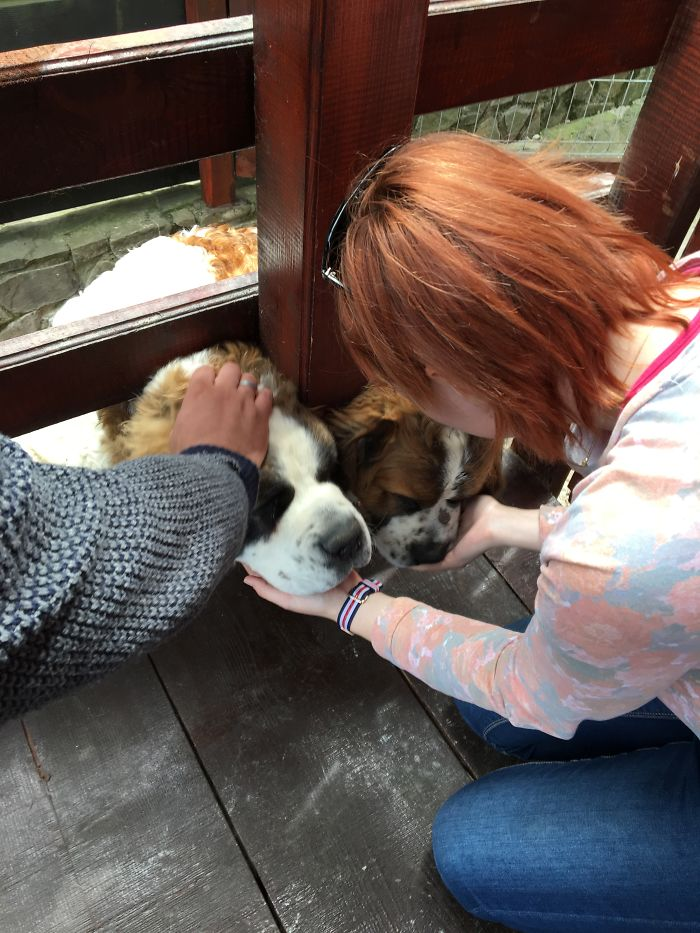 Saint Bernard Puppies Saying 'hello!' ❤️