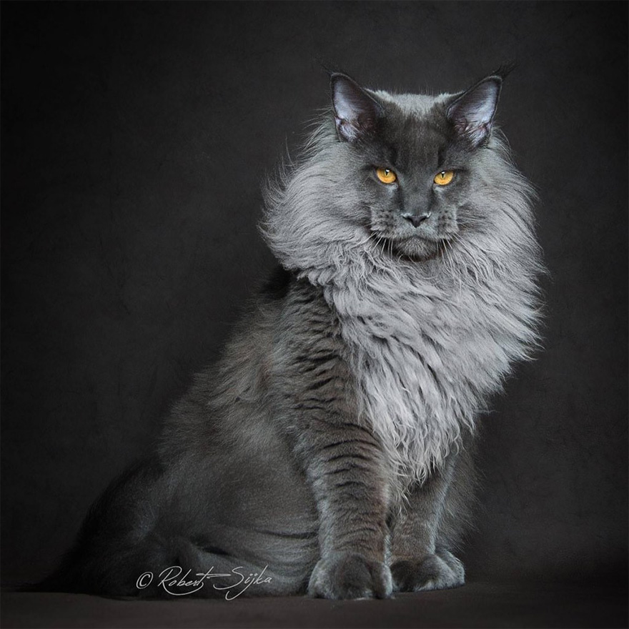 mythical beasts photographer captures the majestic beauty of maine coons bored panda. Black Bedroom Furniture Sets. Home Design Ideas