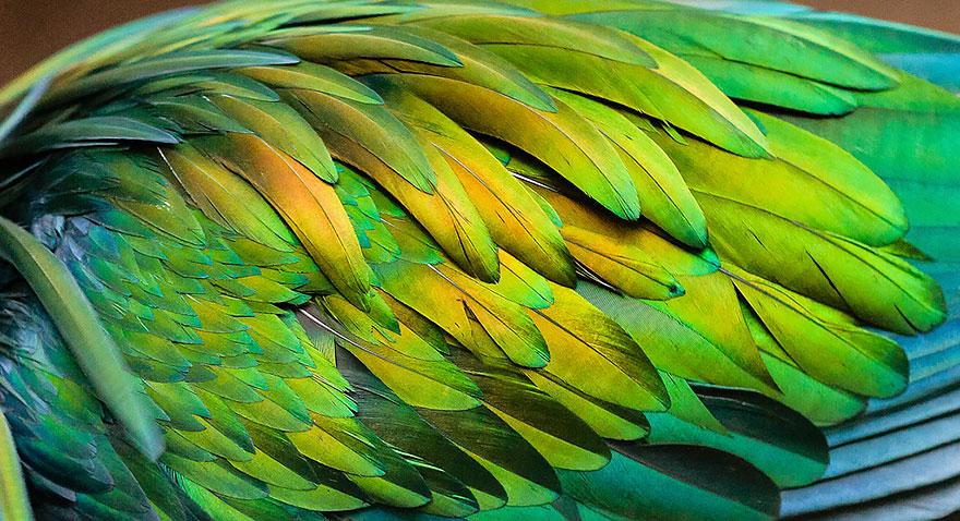 nicobar-pigeon-colorful-dodo-relative-11