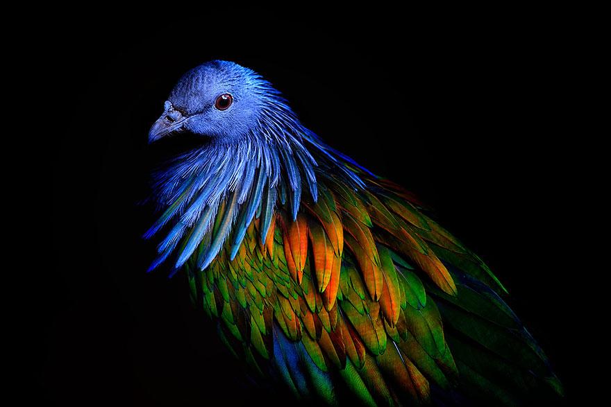 nicobar-pigeon-colorful-dodo-relative-35