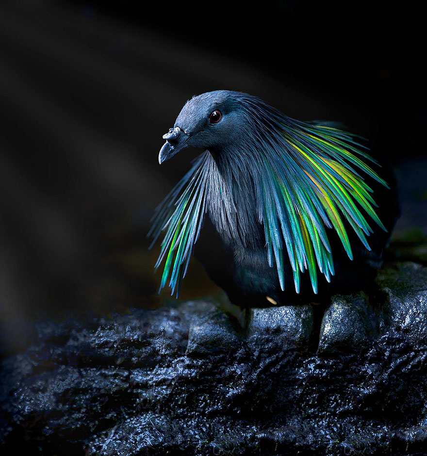 Meet The Closest Living Relative To The Extinct Dodo Bird