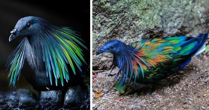 Meet The Closest Living Relative To The Extinct Dodo Bird With