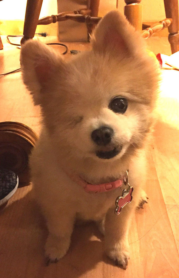 I Would Like To Introduce You To Lady, The 12-Year-Old, One-eyed Pomeranian I Just Adopted