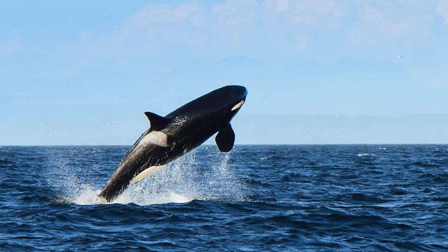 oldest-orca-killer-whale-granny-j2-heather-macIntyre-3