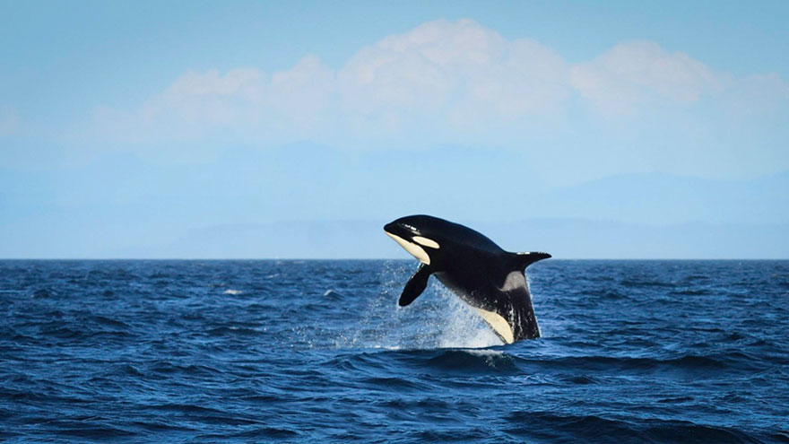 oldest-orca-killer-whale-granny-j2-heather-macIntyre-7