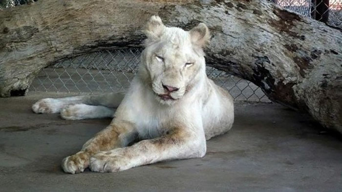 rescue-lions-love-kahn-sheila-in-sync-exotics-1