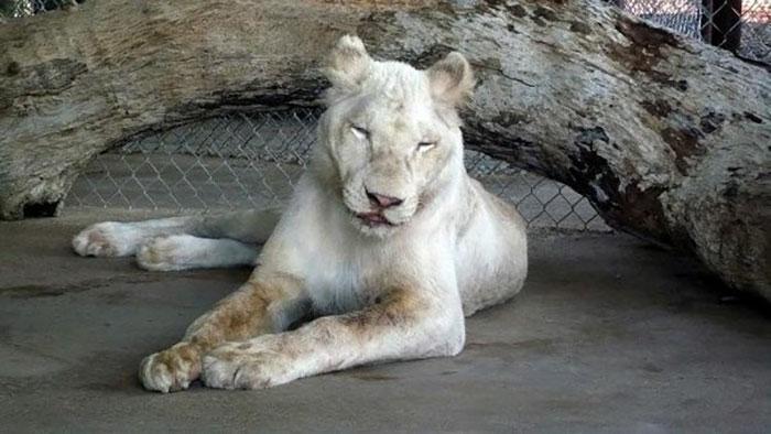 rescue-lions-love-kahn-sheila-in-sync-exotics-1