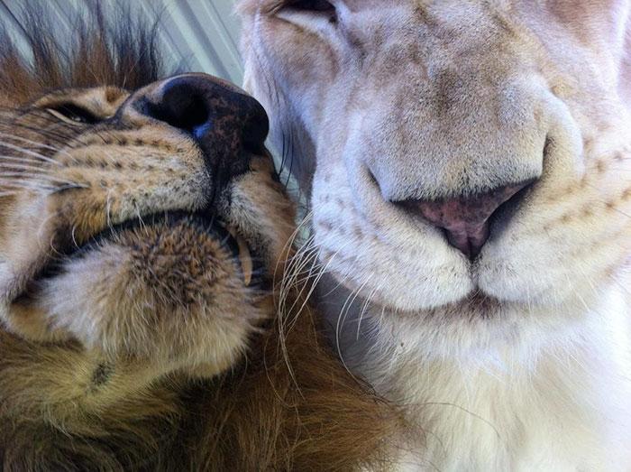 rescue-lions-love-kahn-sheila-in-sync-exotics-19