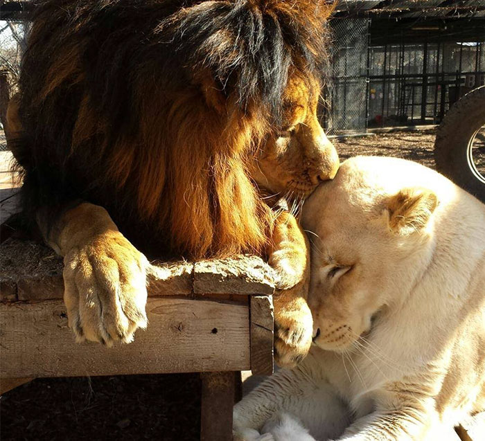 Dying Lion Had No Hope Of Survival – But Then She Found Love