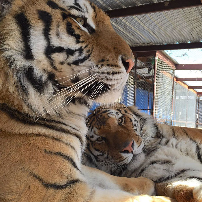 rescue-tiger-recovery-circus-aasha-10