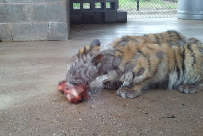 rescate-tigre-recovery-circo-Aasha-21