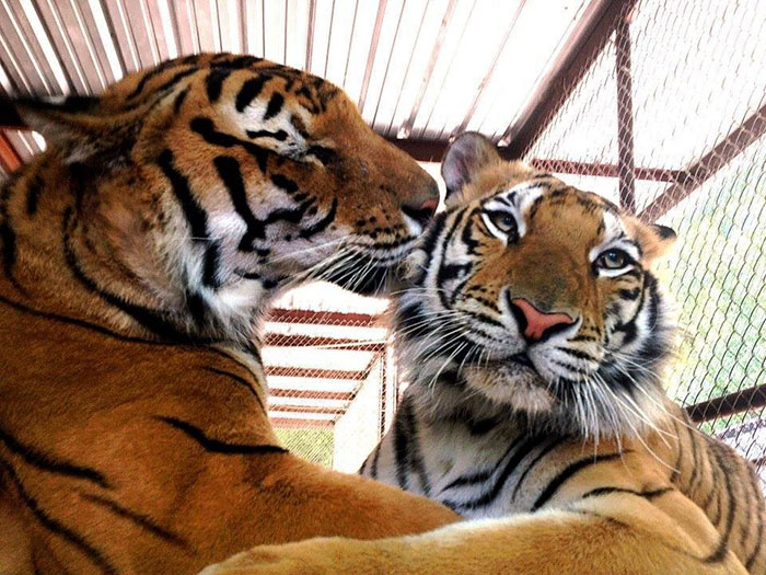 rescate-tigre-recovery-circo-Aasha-8