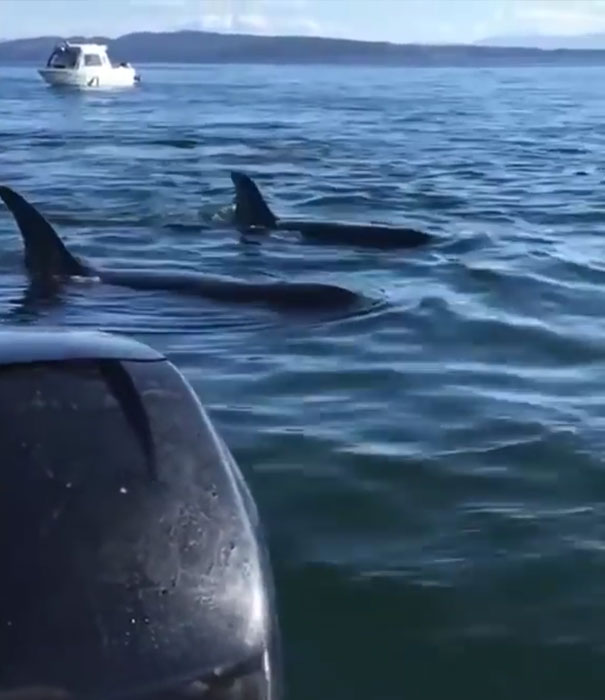 seal-jumps-boat-killer-whales-23