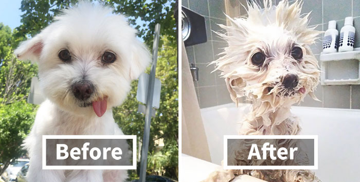 10+ Funny Dog Pics Before And After A Bath