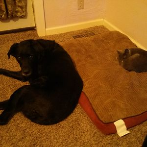This Cat Knows That The Dogs Are Scared Of Her.