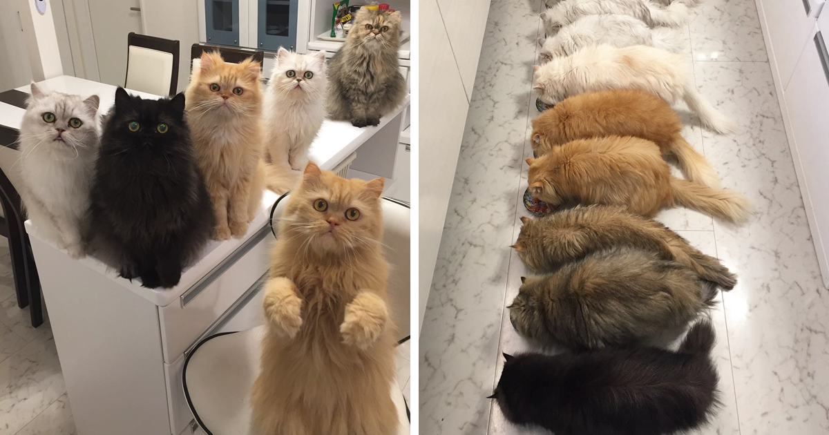 """12 Cats Lady"" Is Exploding Instagram With Her Twelve Persians"