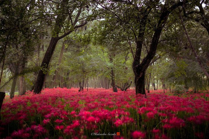 I Photographed A Field Of Red Flowers That Looks Like Out Of This World