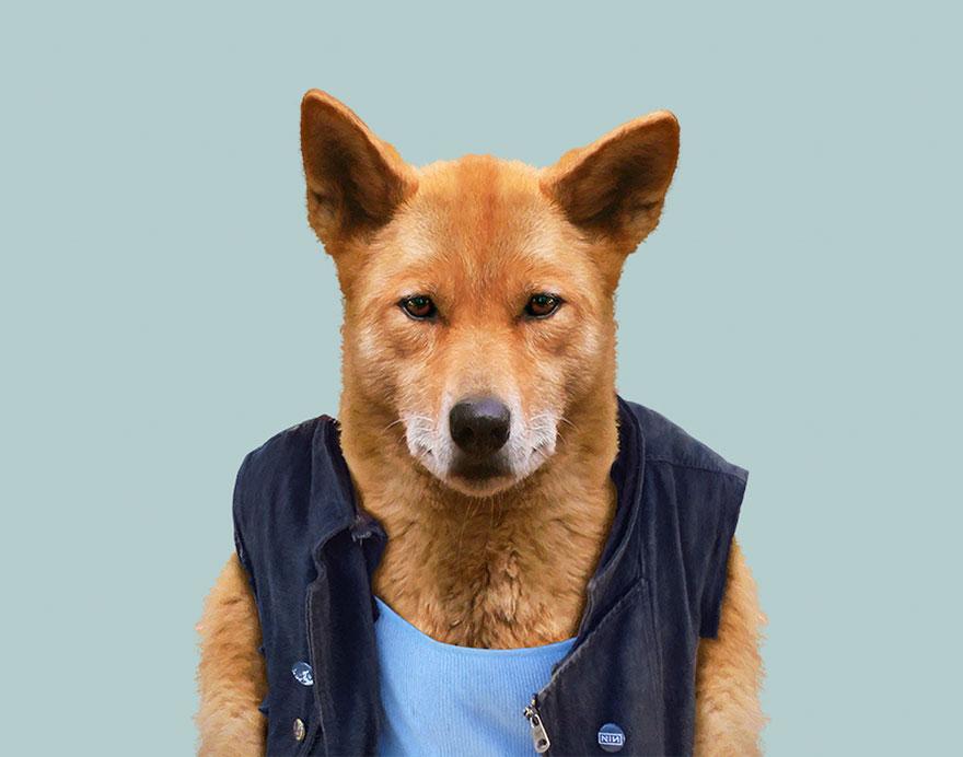 Dingo  Wikipedia