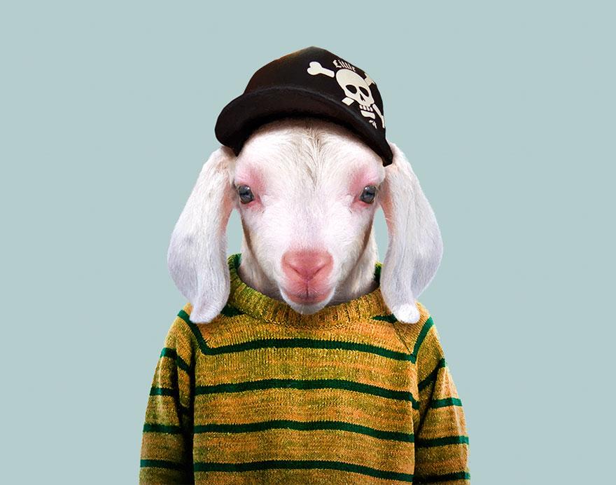 Domestic Goat (Kid)