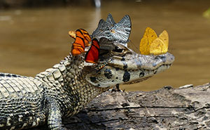 Caiman Wearing A Crown Of Butterflies Shows Its Softer Side