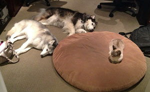 10+ Asshole Cats Who Stole Dog Beds And Didn't Give A Damn About The Pawlice