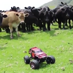 Cows Are Extremely Curious Creatures