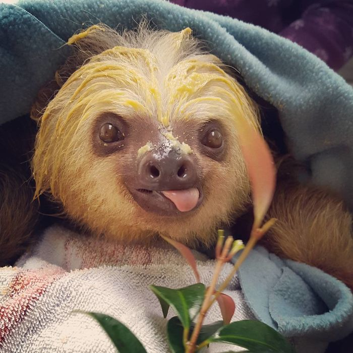 15+ Unbearably Cute Sloth Pics To Celebrate The International ...