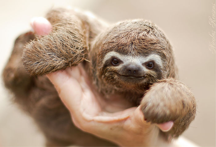 cute sloths 57ee6f1dc9b66__700 15 unbearably cute sloth pics to celebrate the international